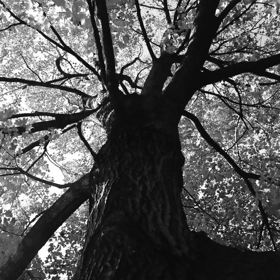 Black & White photo of Tree Canopy looking up from Roots